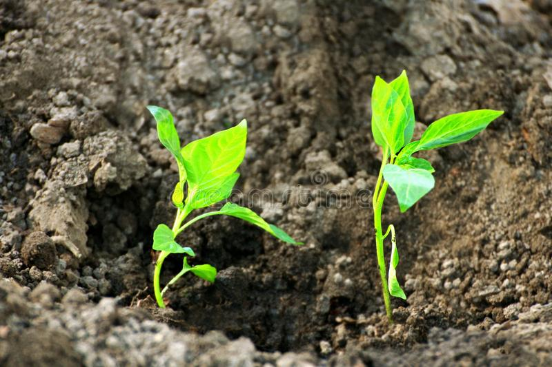 Seedlings of peppers planted in open ground. stock images