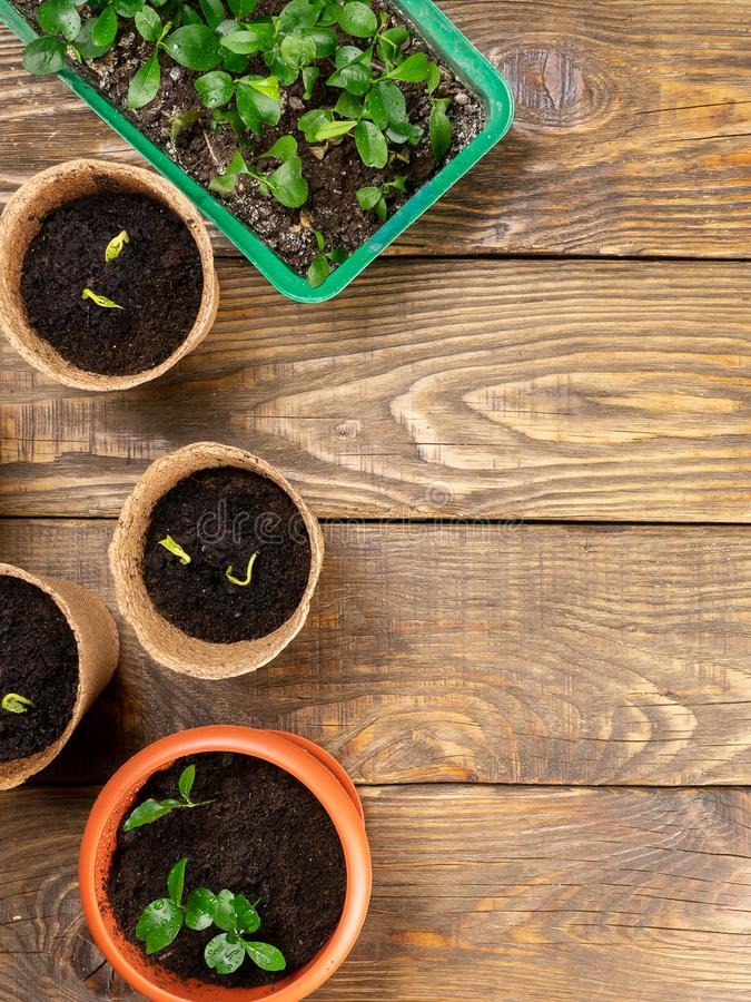 Seedlings in pots on the table. Background image. Copy space. Seedlings in pots on the table. Background image royalty free stock photo