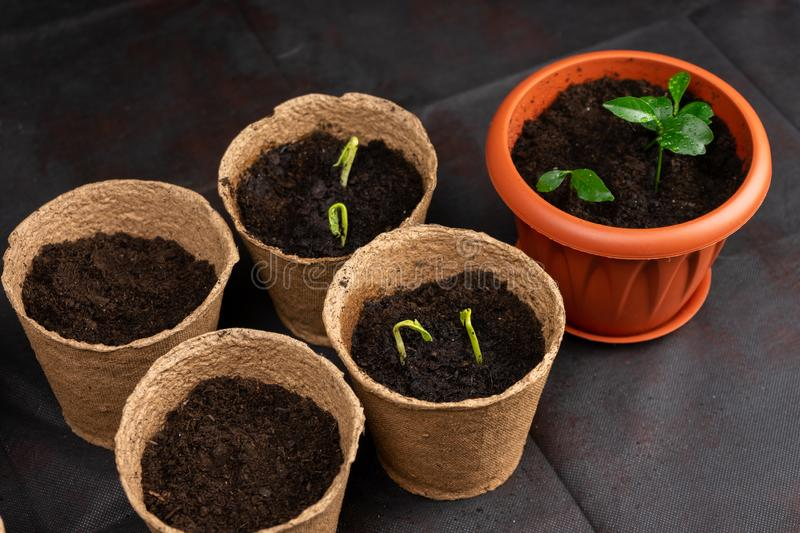 Seedlings in pots on the table. Background image. Copy space. Seedlings in pots on the table. Background image stock photography