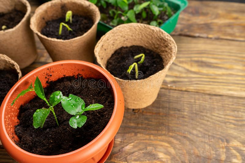 Seedlings in pots on the table. Background image. Copy space. Seedlings in pots on the table. Background image royalty free stock photos