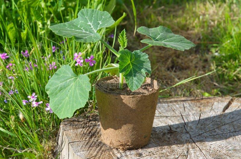 Pumpkin seedlings in a peat pot on a wooden stump in the garden. Seedlings of pumpkin in a peat pot on a wooden stump stock photo