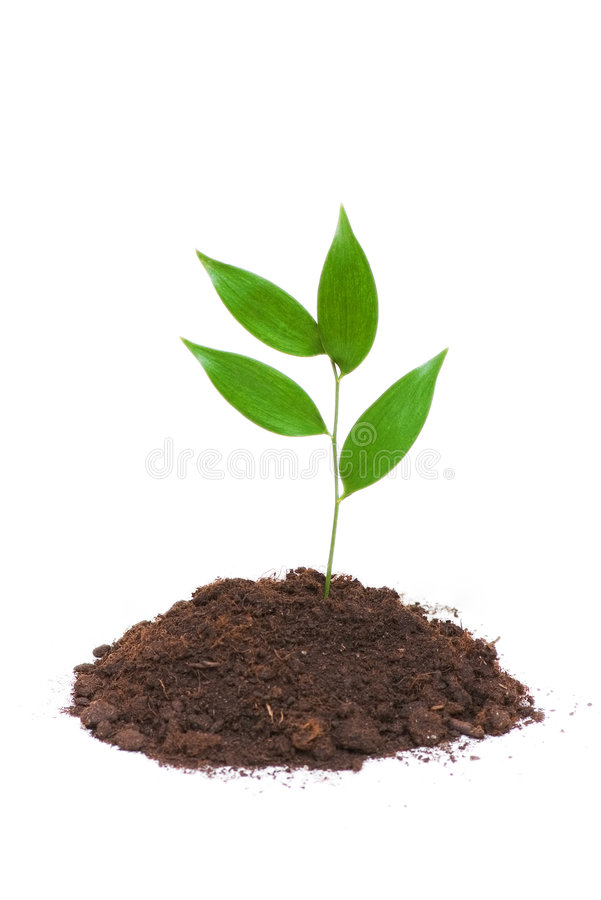 Seedlings que crescem isolados no fundo branco fotografia de stock