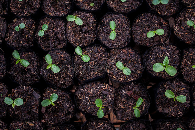 Seedlings are ready for planting For species to royalty free stock images