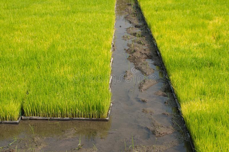Seedlings of rice in rice fields. oung rice are growing in the p stock photo