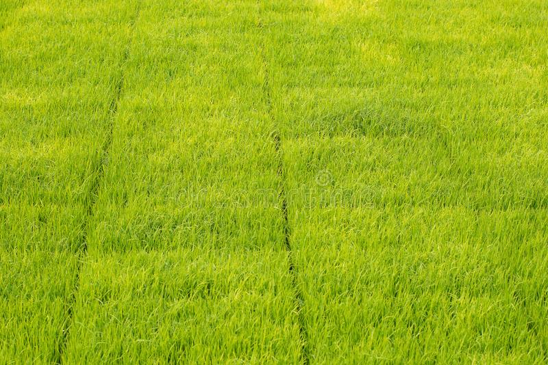 Seedlings of rice in rice fields. oung rice are growing in the p stock photos