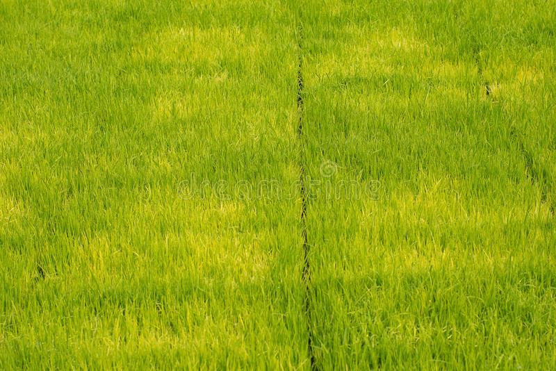 Seedlings of rice in rice fields. oung rice are growing in the p royalty free stock photos