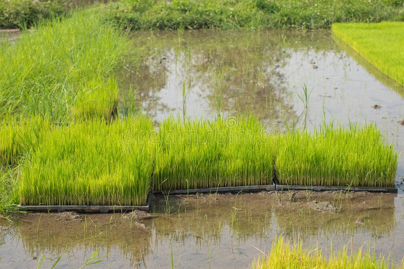 Seedlings of rice in rice fields. oung rice are growing in the p royalty free stock photography