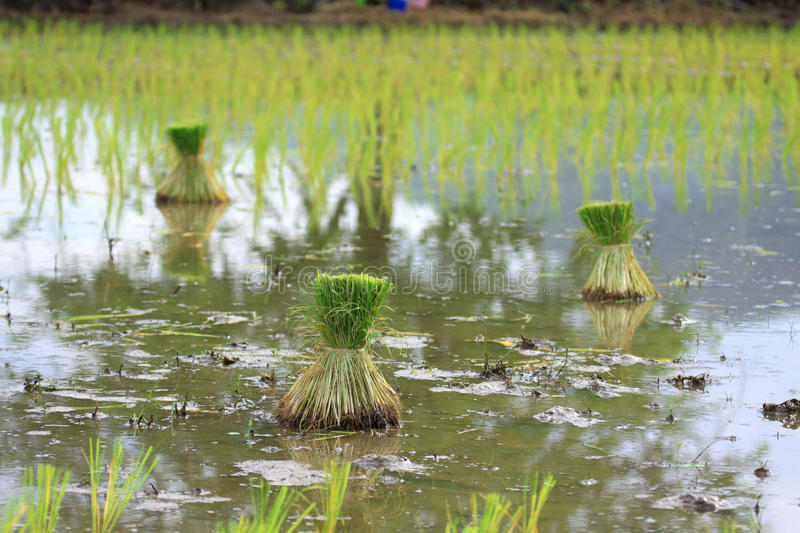Download Seedlings Of Rice In Thailand Stock Image - Image: 25460823