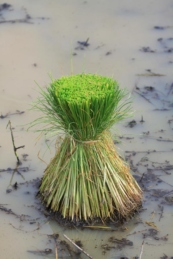 Download Seedlings Of Rice In Thailand Royalty Free Stock Photography - Image: 25460857
