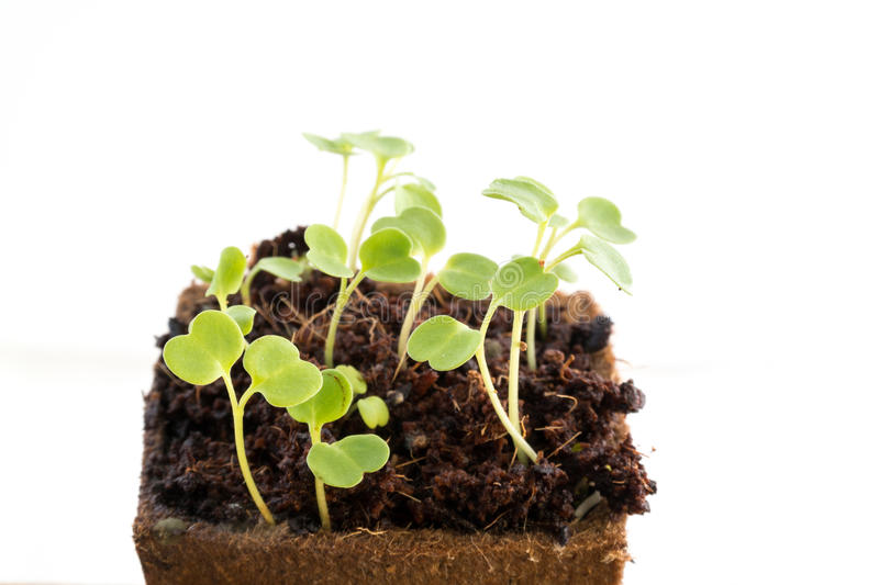 Seedlings of rocket salad or rucola in peat pot. Young fresh seedlings of rucola or rocket salad in peat pot on white background royalty free stock images