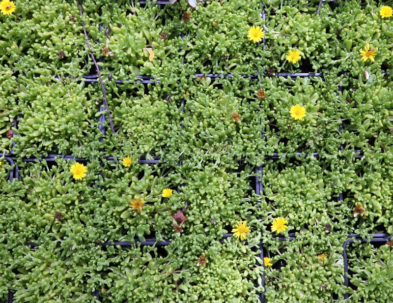 Seedlings in small pots. An image of hothouse seedlings in small pots royalty free stock photo