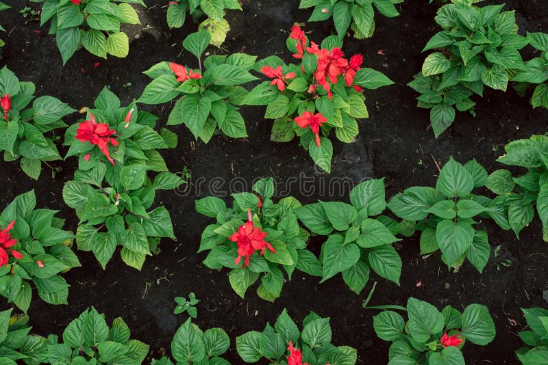 Seedlings of small red flowers in black ground. gardener grows flowers royalty free stock photo