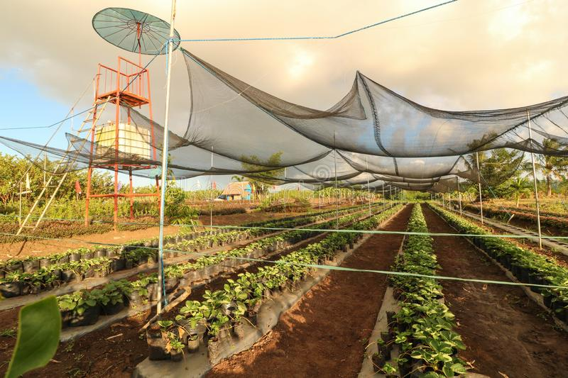 Strawberry plantation in the Philippines. Seedlings of strawberry planted on plastic pots in the strawberry farm as seen from above in Ocampo Camarines Sur royalty free stock photos
