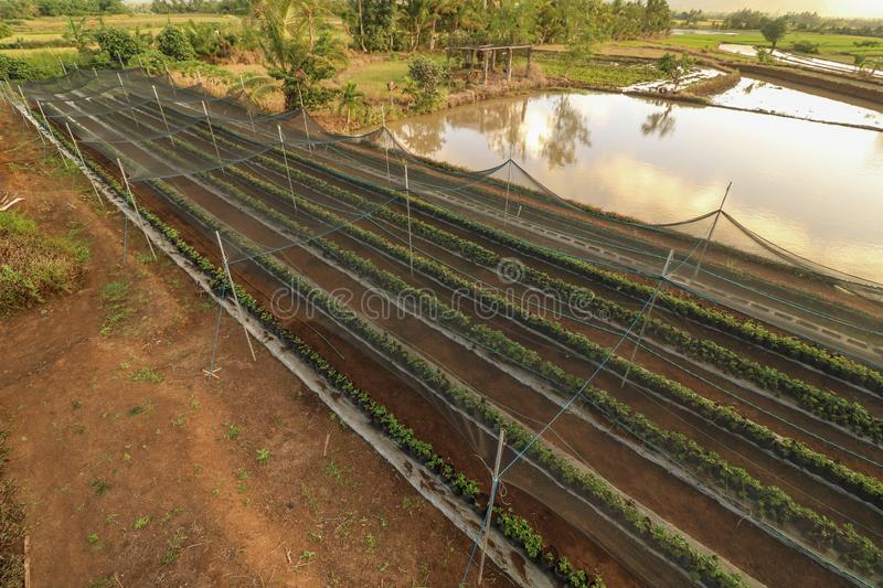 Scenic and beautiful farm in the Philippines. Seedlings of strawberry planted on plastic pots in the strawberry farm as seen from above in Ocampo Camarines Sur royalty free stock photography