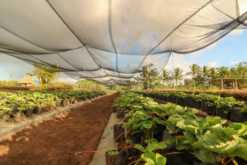Strawberry farm in the Philippines. Seedlings of strawberry planted on plastic pots in the strawberry farm as seen from above in Ocampo Camarines Sur Philippines stock image