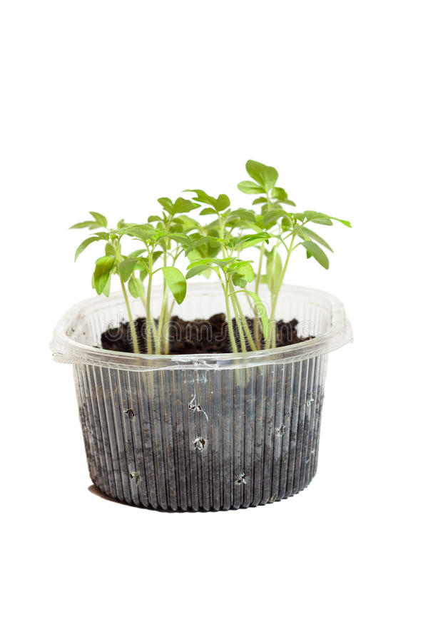 Seedlings of tomatoes in the box. royalty free stock photography