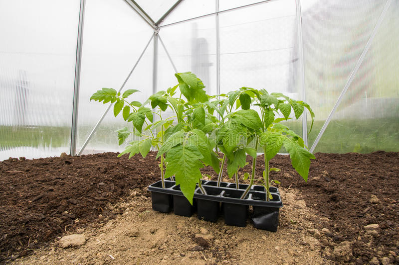 Seedlings Tomatoes Plant Vegetable in Small Greenhouse ready for stock photo