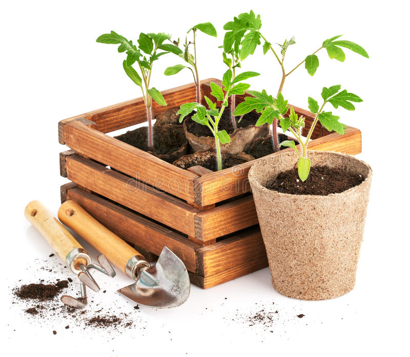 Seedlings tomatoes in wooden box with garden tools royalty free stock photo