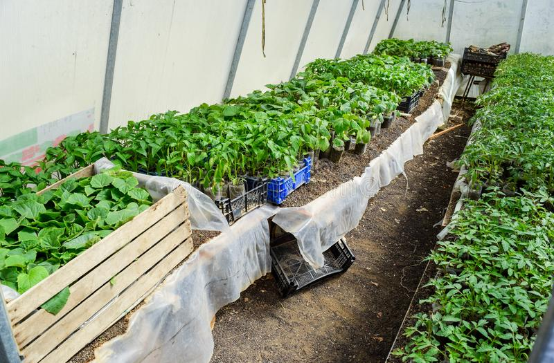 Seedlings of vegetables in the greenhouse. Tomatoes, cucumbers and stock photography