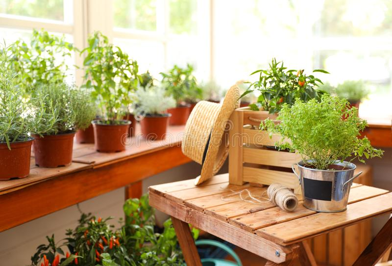 Seedlings, crate, straw hat and rope on wooden table in shop, space for text. Gardening tools. Seedlings, wooden crate, straw hat and rope on wooden table in stock images
