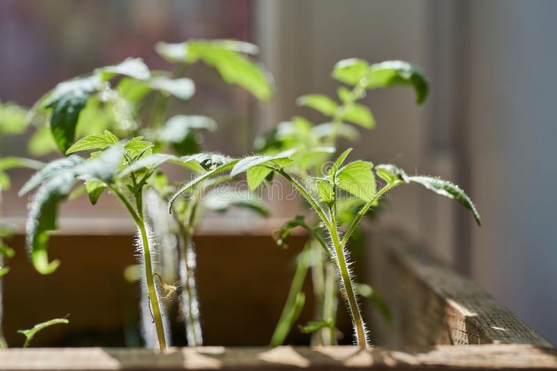 Seedlings of young tomatoes in a box stock photography