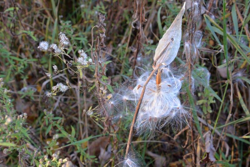 Seedpod milkweed бабочки стоковые фотографии rf