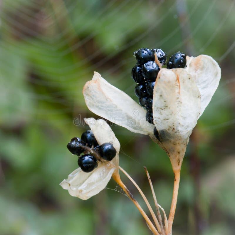 Seedpods радужки стоковые фото