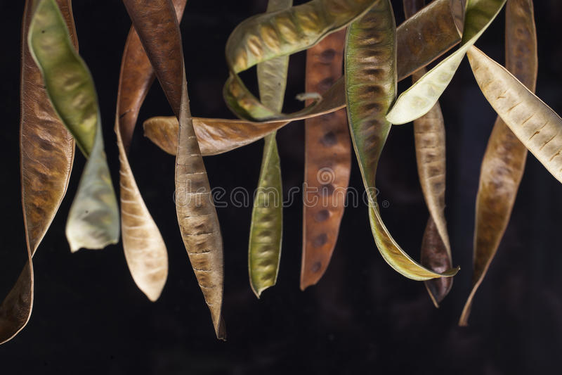 seedpods stockfoto
