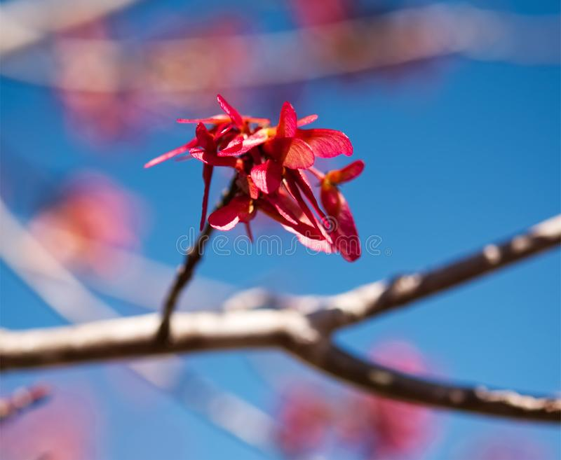 Seedpods auf einem Rotahornbaum lizenzfreie stockfotos