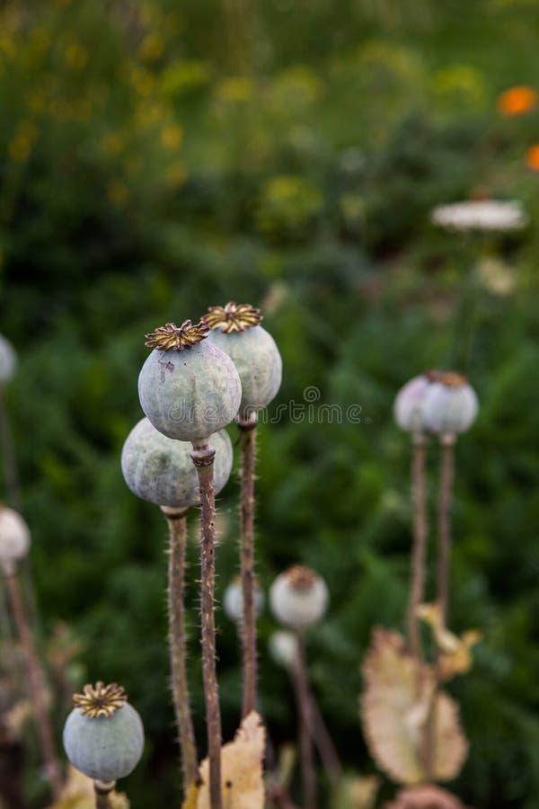 Seedpods de las flores de la amapola imagen de archivo