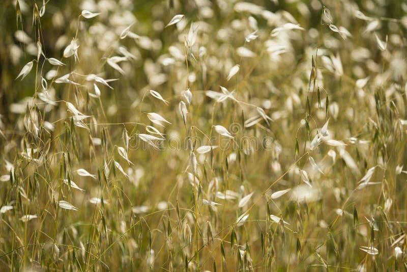 Seedpods de oro de la planta de la avena, avena fotografía de archivo libre de regalías