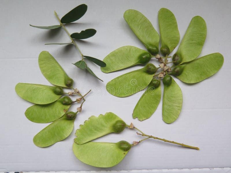 Seedpods del árbol de Tipu fotografía de archivo libre de regalías