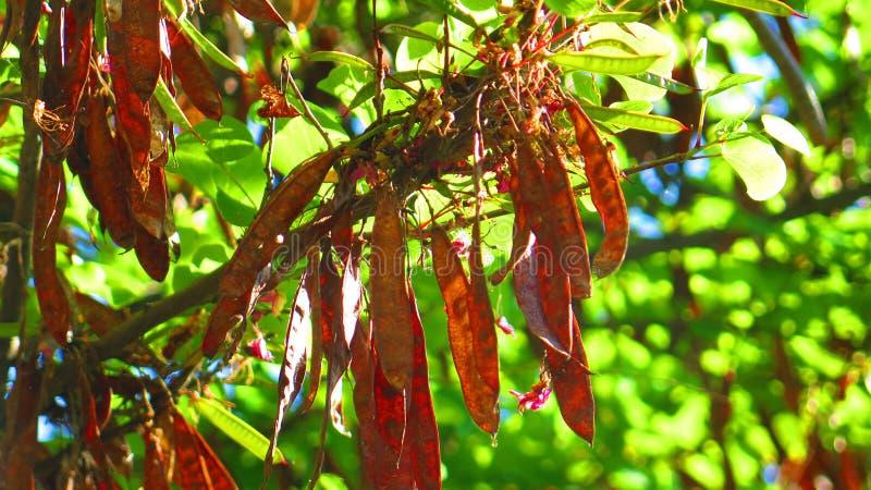 Seedpods en árbol de langosta foto de archivo libre de regalías