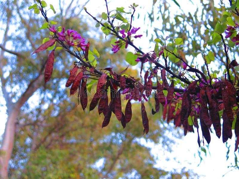 Seedpods en árbol de langosta en sol andaluz de la primavera fotos de archivo libres de regalías