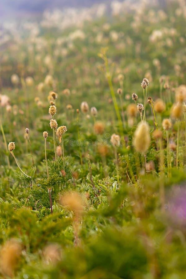 seedpods för pasqueblommor visar gult i grönt fält arkivbilder