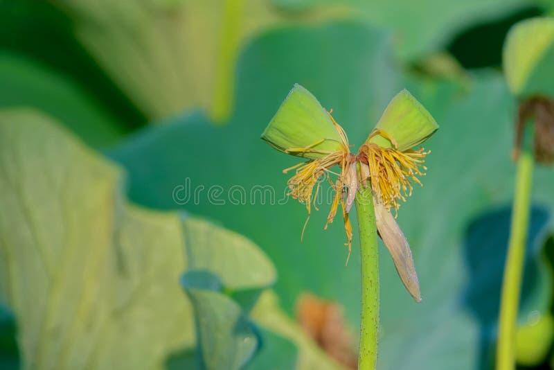 Seedpods gemelos del loto en un tallo imagen de archivo libre de regalías