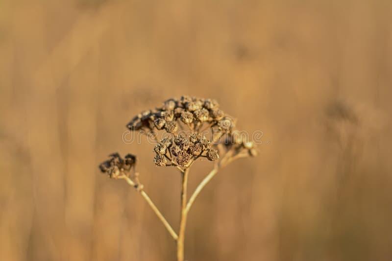 Seedpods marrons secados da flor do tansy - vulgare do Tanacetum imagem de stock