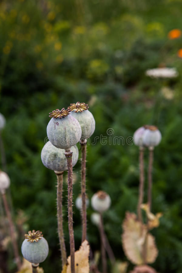 Seedpods von Mohnblumenblumen stockbild