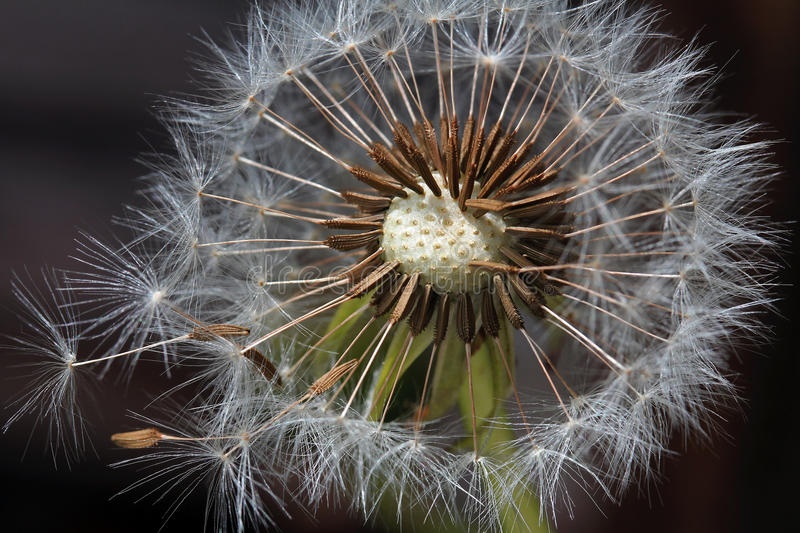 The seeds of the dandelion. Become from the wind a road-blown stock image