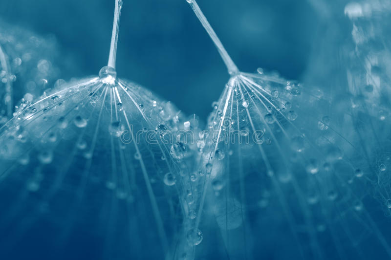 Seeds of dandelion close-up with drops of water in blue. Selective soft focus. Abstract macro stock images