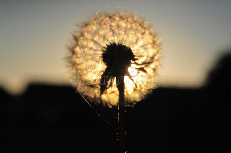 Seeds of dandelion in the crown stock photography