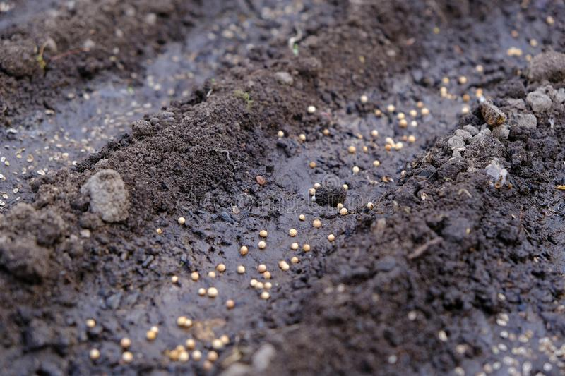 Seeds in diagonal seedbed, planting seeds garden, chernozem or black soil, springtime farm works, ground close-up. Seeds in diagonal seedbed, planting seeds in royalty free stock images