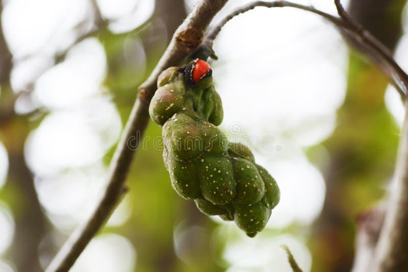 Seeds of the Magnolia kobus royalty free stock photos