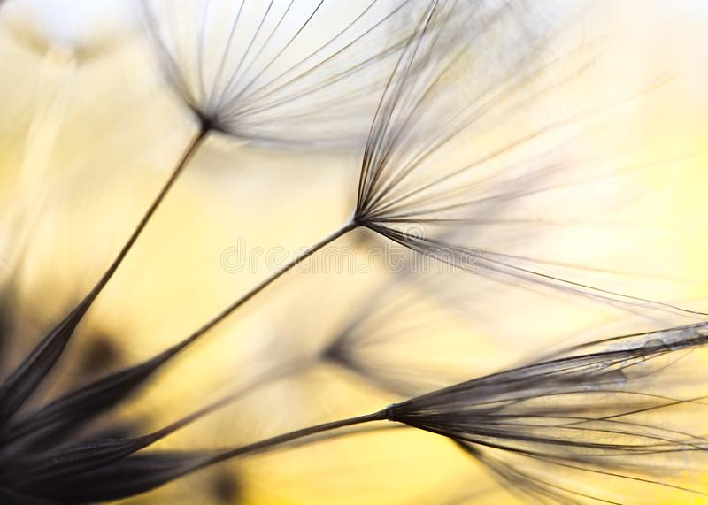 Seeds of Meadow Salsify royalty free stock images