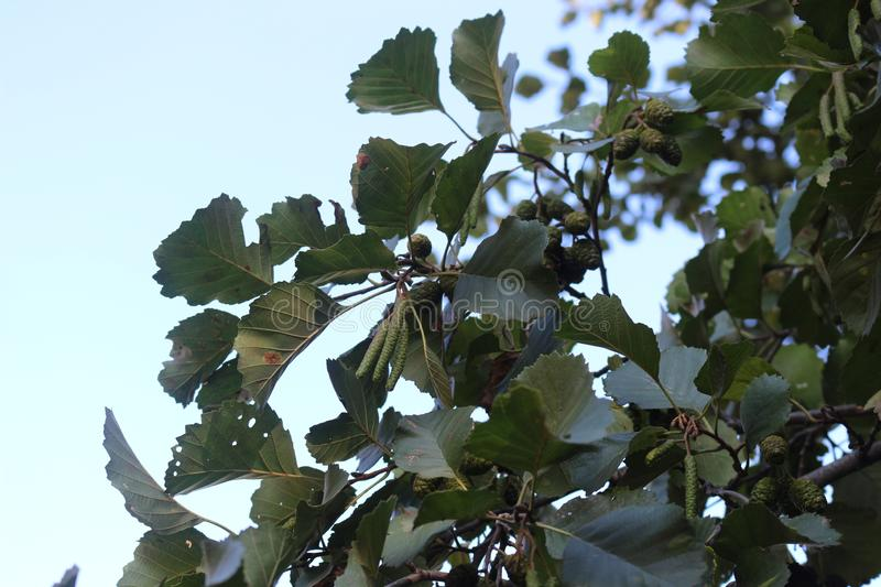 Seeds ripen on alder. S tree. Sunny spring day royalty free stock photos