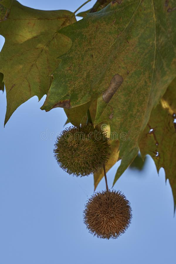 Seeds on tree in autumn stock photography