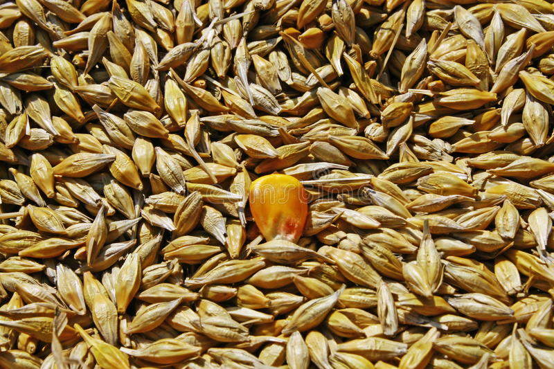 Seeds of wheat and yellow seed royalty free stock photography