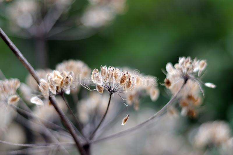 Seeds of a wild angelica. Closeup of seeds at wilted umbel of angelica sylvestris, a flowering perennial herb stock photos