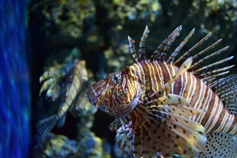 Seefisch Lionfish-Klasse Pterois lizenzfreie stockbilder