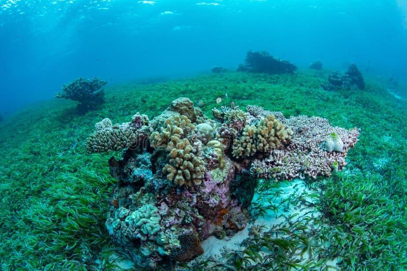 Seegrasbett und -Meeresflora und -fauna in Nationalpark Wakatobi, Indonesi lizenzfreie stockbilder